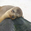 SEA LION BABY - PUNTA SUAREZ in the GALAPAGOS ISLANDS<br /> WAITING FOR MOM TO GET BACK FROM FISHING