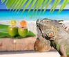 Mexico iguana in coconut Caribbean beach