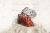 Red Legged Hermit Crab in Mexico beach sand