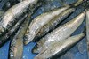 pilchard sardine seafood fish catch blue ice
