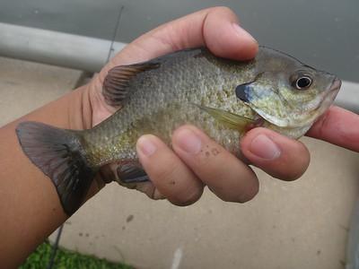 August 18th, 2013 - Bluegill - Schuylkill River