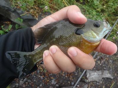 August 12th, 2014 - Bluegill - Lake Nockamixon