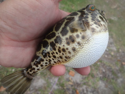 December 2nd, 2015 - Checkered Puffer - Intracoastal Waterway