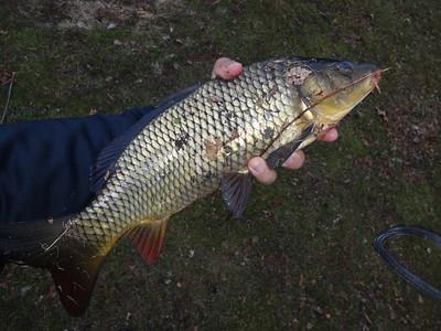 December 1st, 2014 - Common Carp - Meadow Lake