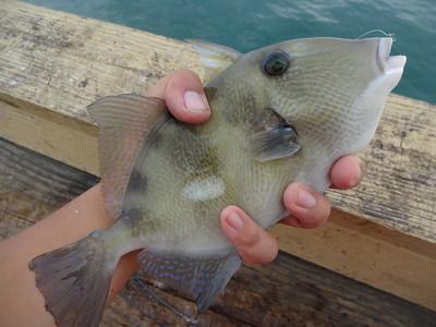 December 3rd, 2015 - Grey Triggerfish - Anglin's Pier