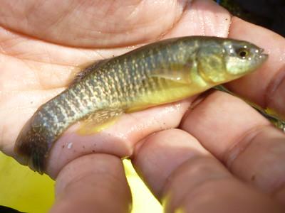 April 21st, 2012 - Mummichog - Tacony Creek