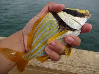 December 3rd, 2015 - Porkfish - Anglin's Pier