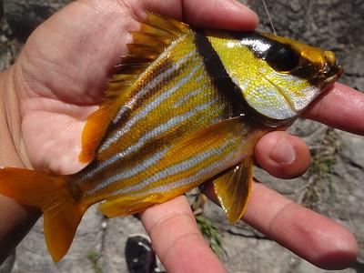 July 5th, 2016 - Porkfish - Intracoastal Waterway
