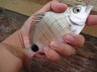 December 3rd, 2015 - Spottail Pinfish - Anglin's Pier