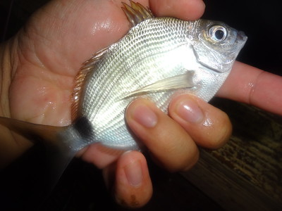 October 28th, 2015 - Spottail Pinfish - Anglin's Pier