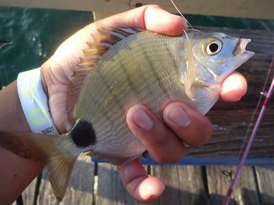 July 6th, 2016 - Spottail Pinfish - Anglin's Fishing Pier