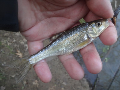 March 22nd, 2017 - Striped Shiner - Mountain Creek