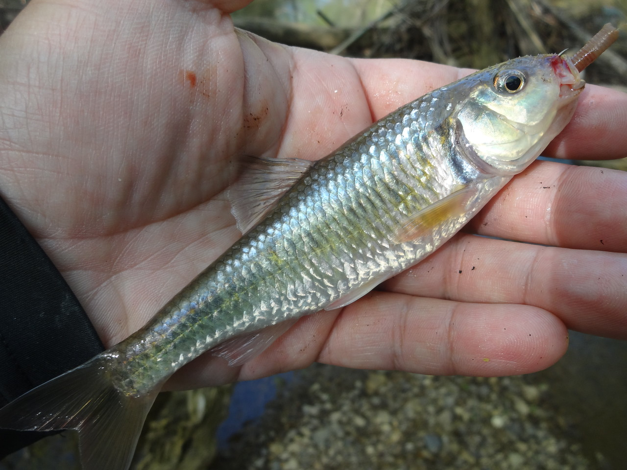March 29th, 2016 - Striped Shiner - Mountain Creek