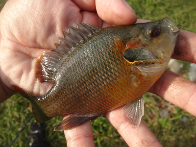 December 13th, 2016 - Redspotted Sunfish - 17th Street Canal