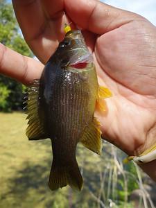 September 6th, 2015 - Green Sunfish - Afton Lake