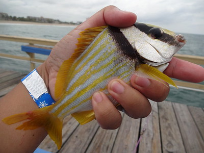 October 28th, 2015 - Porkfish - Anglin's Pier