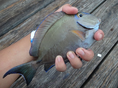 October 28th, 2015 - Ocean Surgeonfish - Anglin's Pier