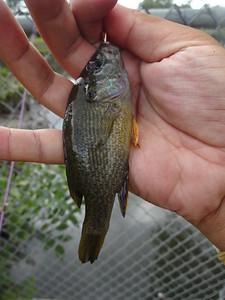 August 24th, 2015 - Green Sunfish - Big Timber Creek