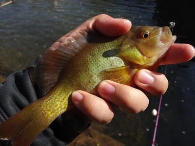 March 7th, 2016 - Redbreast Sunfish - Buck Creek