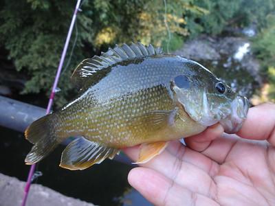 September 6th, 2015 - Green Sunfish - Buck Creek