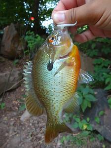 July 10th, 2014 - Redbreast Sunfish - Buck Creek