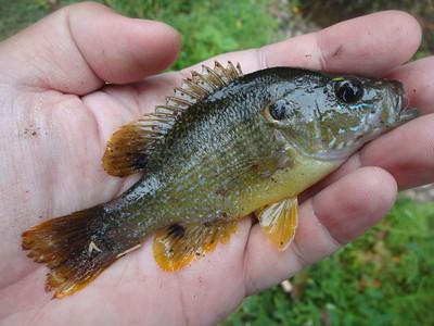September 26th, 2016 - Green Sunfish - Buck Creek