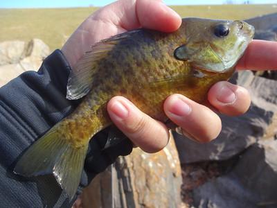 February 7th, 2015 - Bluegill - Core Creek