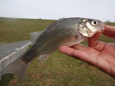 December 24th, 2012 - White Perch - Core Creek