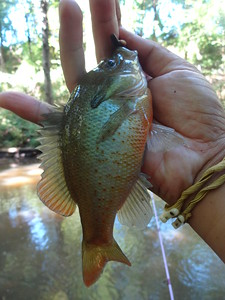 September 23rd, 2015 - Redbreast Sunfish - Crosswicks Creek