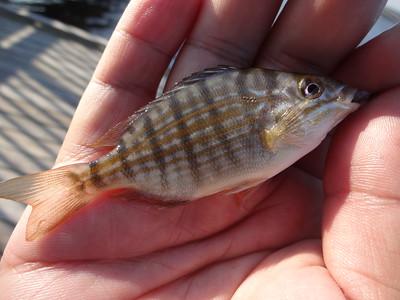 June 20th, 2016 - Pinfish - Currituck Sound