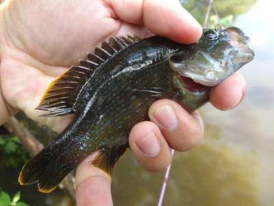 June 1st, 2016 - Green Sunfish - Darby Creek