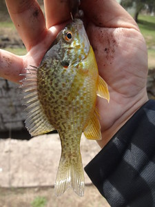 April 15th, 2015 - Pumpkinseed - Delaware Canal