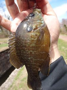 April 15th, 2015 - Hybrid - Green Sunfish X Bluegill - Delaware Canal