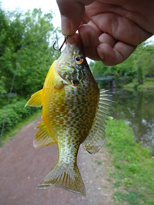 May 21st, 2014 - Pumpkinseed - Delaware Canal