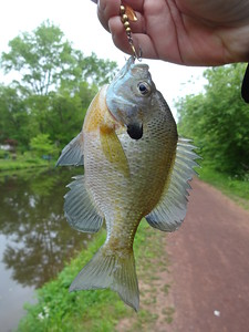 May 21st, 2014 - Bluegill - Delaware Canal