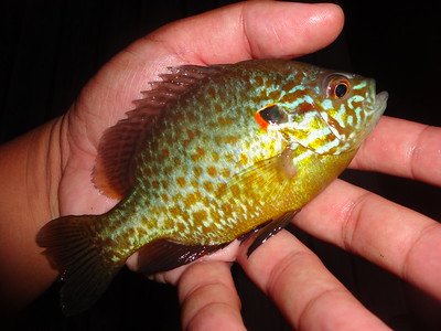 July 21st, 2013 - Pumpkinseed - Delaware River
