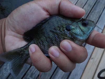 July 21st, 2013 - Bluegill - Delaware River
