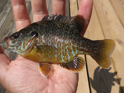 June 20th, 2013 - Green Sunfish X Bluegill - Delaware River
