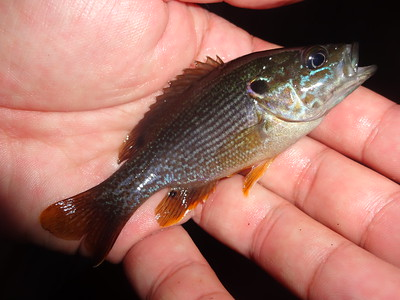 July 21st, 2013 - Green Sunfish - Delaware River