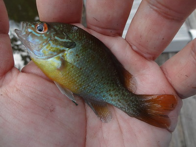 July 24th, 2013 - Redbreast Sunfish X Pumpkinseed - Delaware River