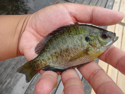 June 18th, 2013 - Bluegill - Delaware River