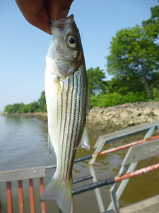June 20th, 2012 - Striped Bass - Delaware River