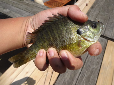 June 20th, 2013 - Bluegill - Delaware River