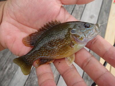 June 18th, 2013 - Green Sunfish - Delaware River