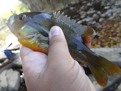 October 24th, 2014 - Redbreast Sunfish - East Branch Brandywine Creek