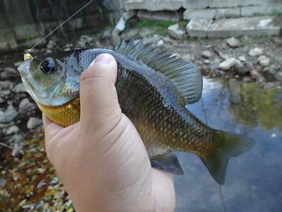 October 24th, 2014 - Bluegill - East Branch Brandywine Creek