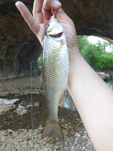 May 12th, 2015 - Fallfish - East Branch Brandywine Creek