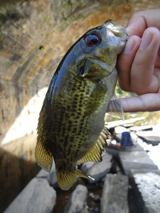 October 24th, 2014 - Rock Bass - East Branch Brandywine Creek