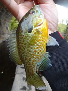 October 24th, 2014 - Hybrid - Redbreast Sunfish X Pumpkinseed - East Branch Brandywine Creek
