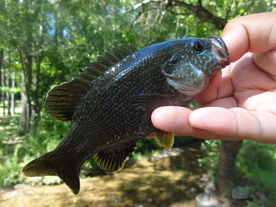 August 22nd, 2016 - Green Sunfish - Gulph Creek